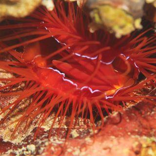 水中の貝「ウコンハネガイ」 貝にライトの光を当てるとイナズマみたいにピカピカ光ってる不思議な貝!