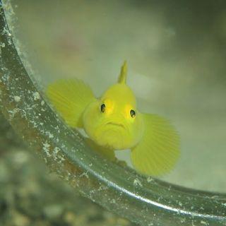 黄色のハゼ『ミジンベニハゼ』ビンや貝殻わ住処として隠れてます。外を覗いてくる表情がたまらなく可愛い瞬間があるよ